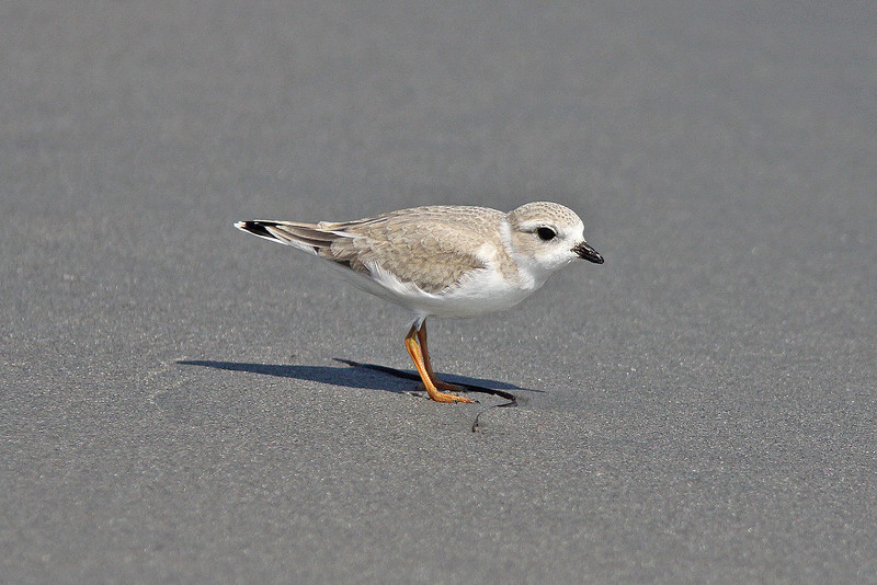 Piping plover at Cherry Hill beach