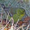Pine warbler, 2010