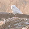 Snowy owl on front beach at Hartlen Pt