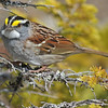 White-throated sparrow, 2016