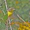 Common yellowthroat, female, 17 Sep 2012