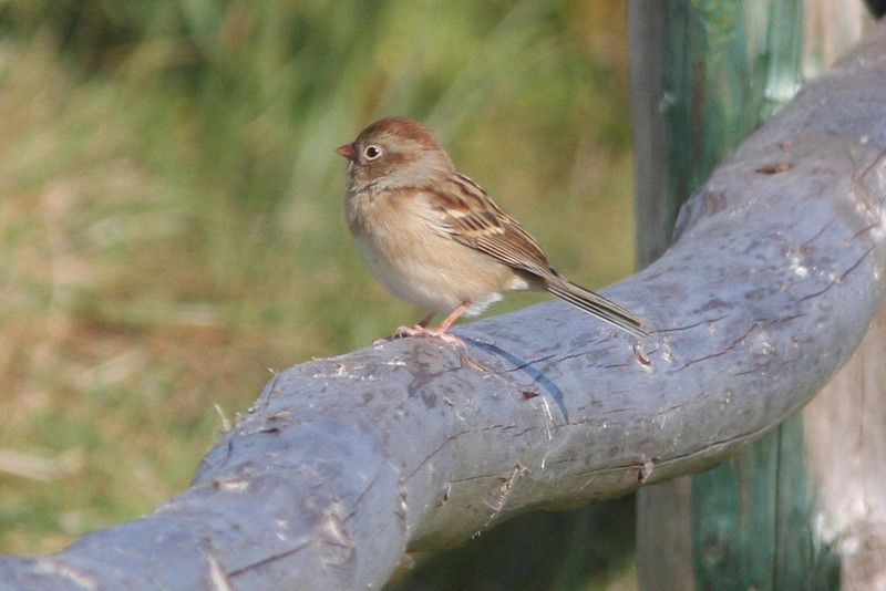 Field sparrow, Seal Island 2008