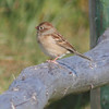 Field sparrow, Seal Island 2008