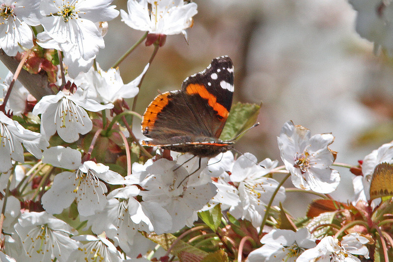 Red Admiral butterfly in apple blossoms, May 2010, Brier Island