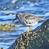 Purple sandpiper at PPP, Mar 2019