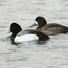 Pair of  greater scaup, Point Pleasant Park, 16 Mar 2017