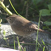 House wren (I think), Seal Island, Sep 2008