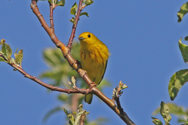 Yellow warbler in apple tree, Brier Island May 2010