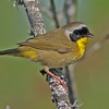 Common yellowthroat, male