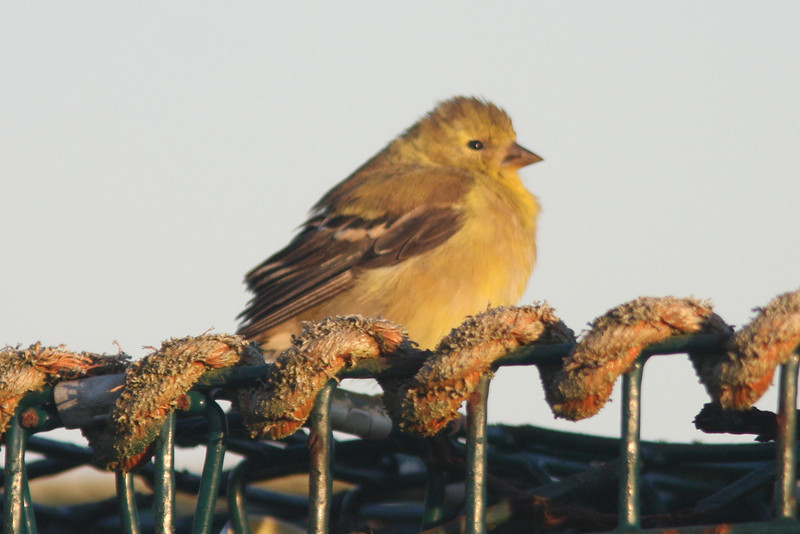 American goldfinch, Seal Island 2008
