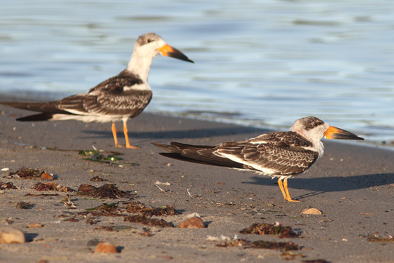 """Black skimmers on McCormack Beach, 2010, """"Earl"""" fallout"""