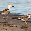 "Black skimmers on McCormack Beach, 2010, ""Earl"" fallout"