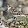 White-rumped sandpiper, Sep 2010