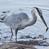 Great blue heron with catch - Squid Cove, East Chester - late Sept 2011