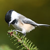 Black-capped chickadee, Squid Cove, 2016