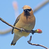 Cedar waxwing, Brier Island, 20 May 2012