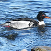 Red-breasted merganser, Point Pleasant Pk, Mar 2019