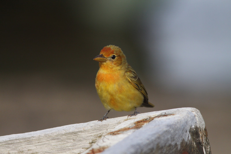 Female summer tanager on Brier Island, May 16, 2009