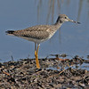greater yellowlegs at Hartlen Point, Oct 1, 2011