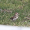 Juvenile lark sparrow