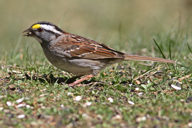 White-throated sparrow, 29 Apr 2013