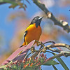 Baltimore oriole at Hotel Bougainvillea