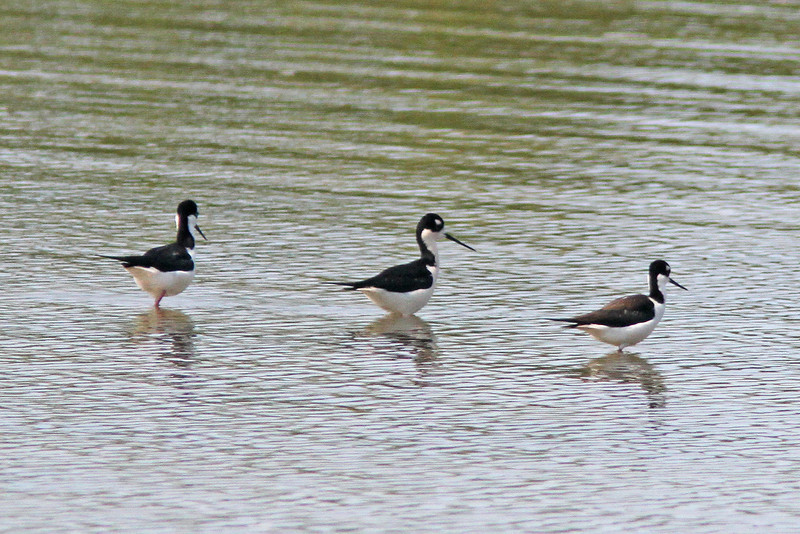 Black-necked stilt at J.N. Ding Darling NWR