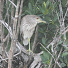 """juvenile"" black-crowned night heron"
