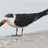 Black skimmer, non-breeding plumage, probable male