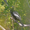 Anhinga, breeding male