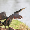 Anhinga displaying (apparently courtship behavior)