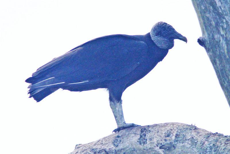 Black vulture, backlit