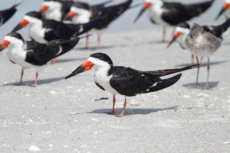 Black skimmer, breeding plumage
