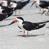 Black skimmer, breeding plumage
