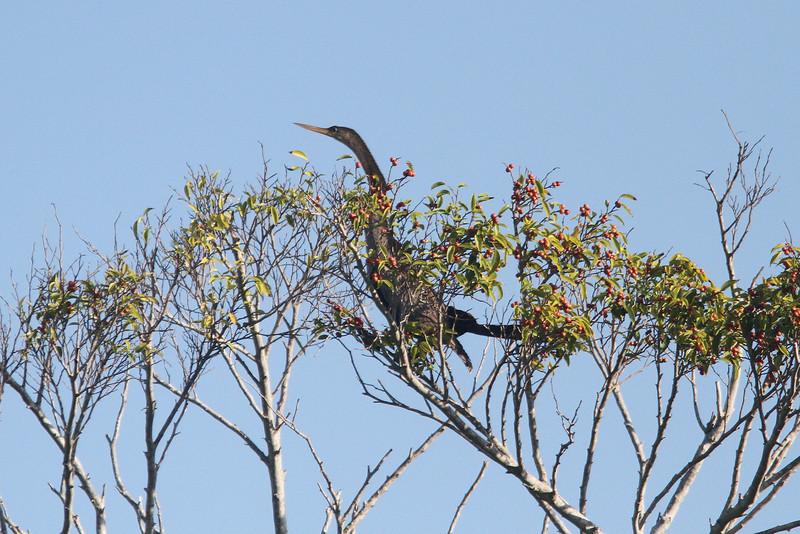 Anhinga in tree.
