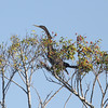 Anhinga in tree.