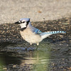 Blue jay having a bath