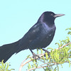 Boat-tailed grackle, male