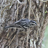 Black and white warbler in Mead Garden