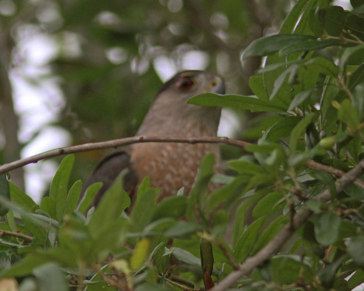 Cooper's hawk near shrike nest in Blue Jacket Park