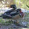 Two male wood ducks in Mead Garden