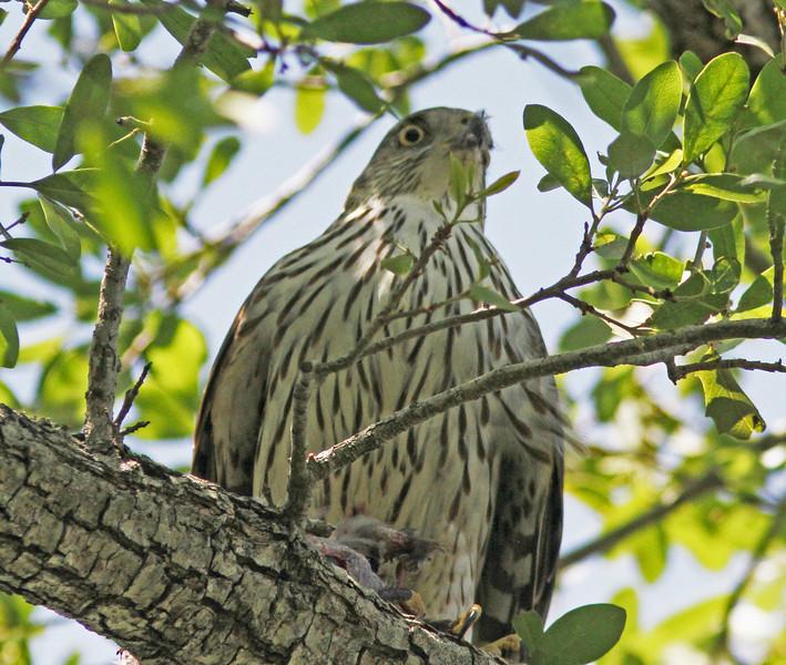 Cooper's hawk in Orlando near Lake Balwin
