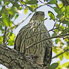 Cooper's hawk in Orlando near Lake Balwin