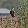 Crested caracara perched near road kill in Central Florida
