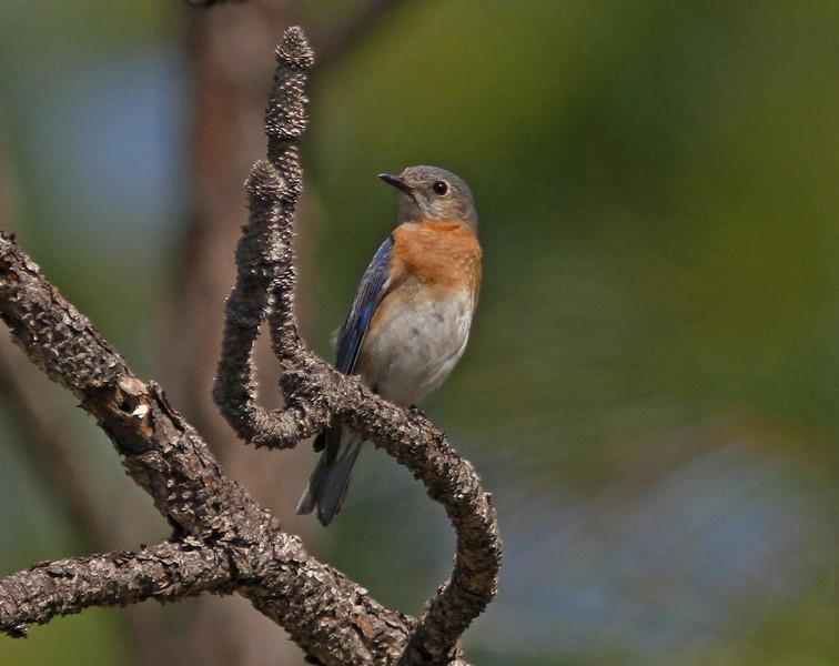 Eastern bluebird in Three-lake Wildlife Management Area