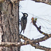 Red-cockaded woodpecker in Three-Lake WMA