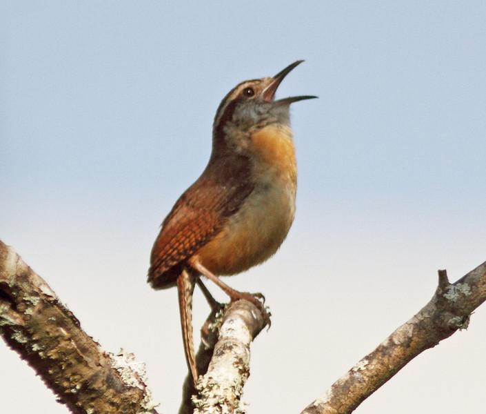 Singing Carolina wren