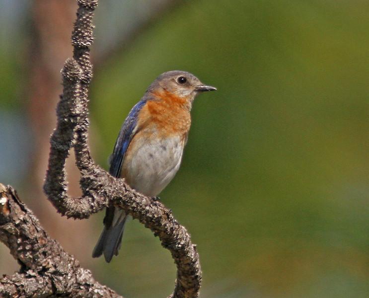 Eastern bluebird at Three-Lake Wildlife Management Area