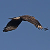 Crested caracara flying away in Central Florida