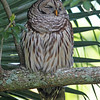 Adult barred owl near nest in Mead Garden